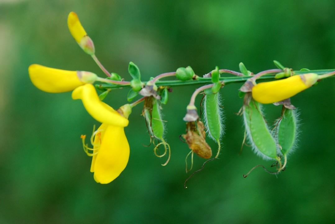 Cytisus scoparius subsp. scoparius 6
