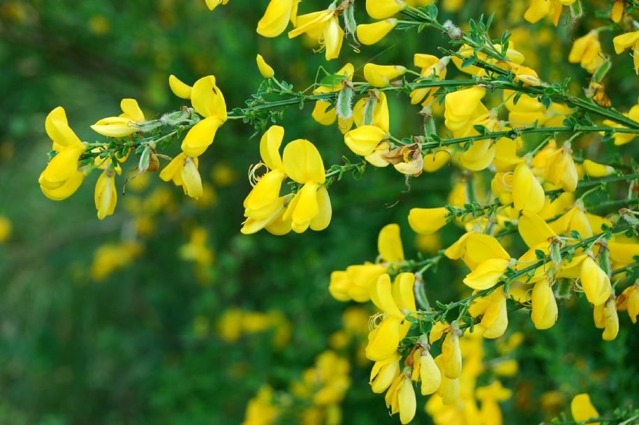 Cytisus scoparius subsp. scoparius 8