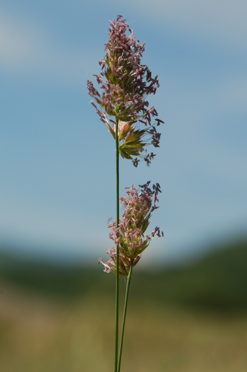 Dactylis glomerata subsp. glomerata 11