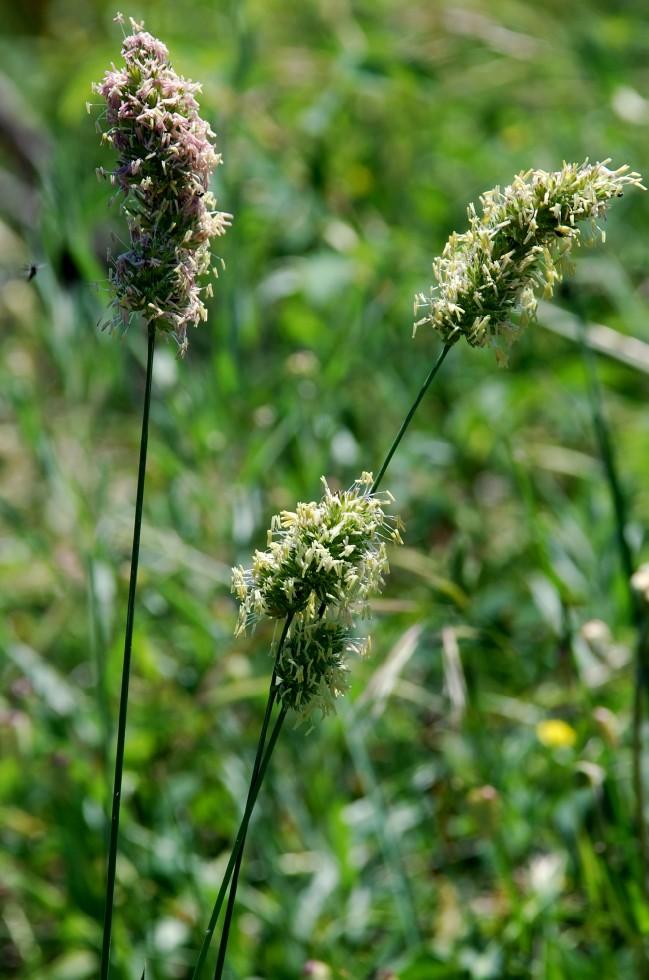 Dactylis glomerata subsp. glomerata 2