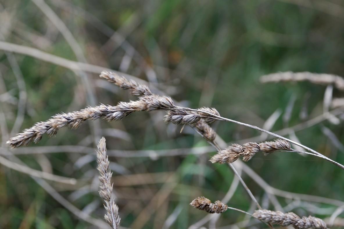 Dactylis glomerata subsp. glomerata 8