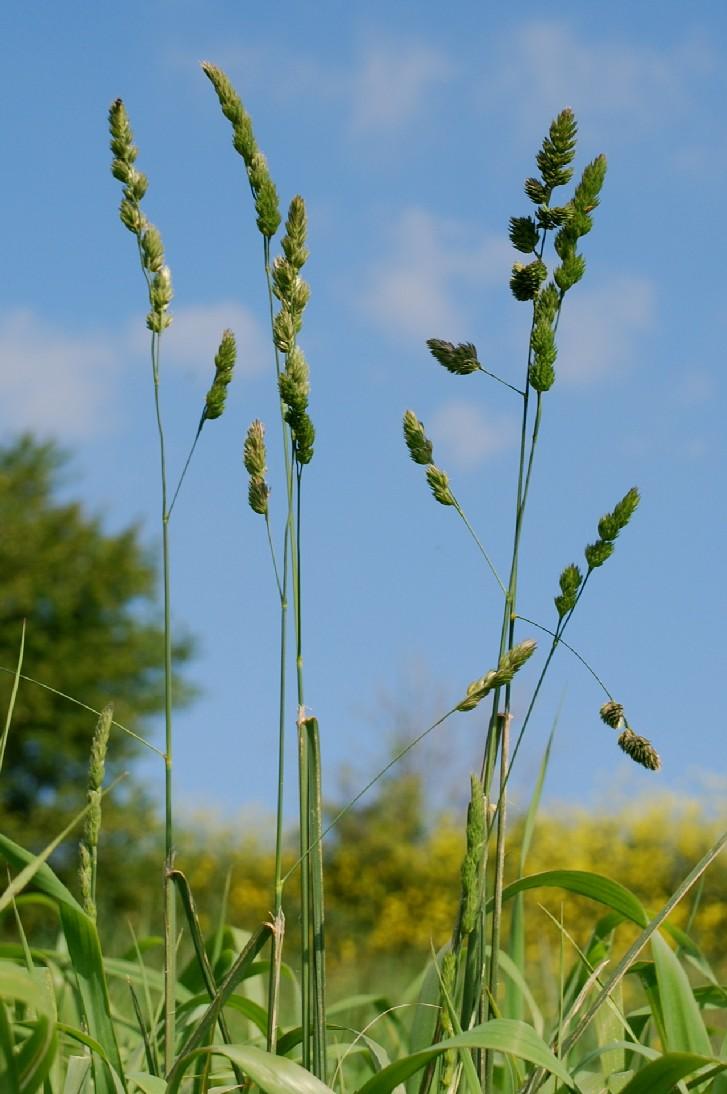 Dactylis glomerata subsp. glomerata 9