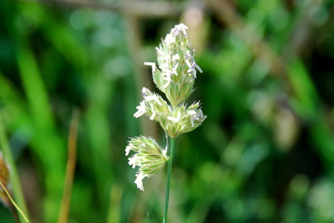 Dactylis glomerata subsp. hispanica 3