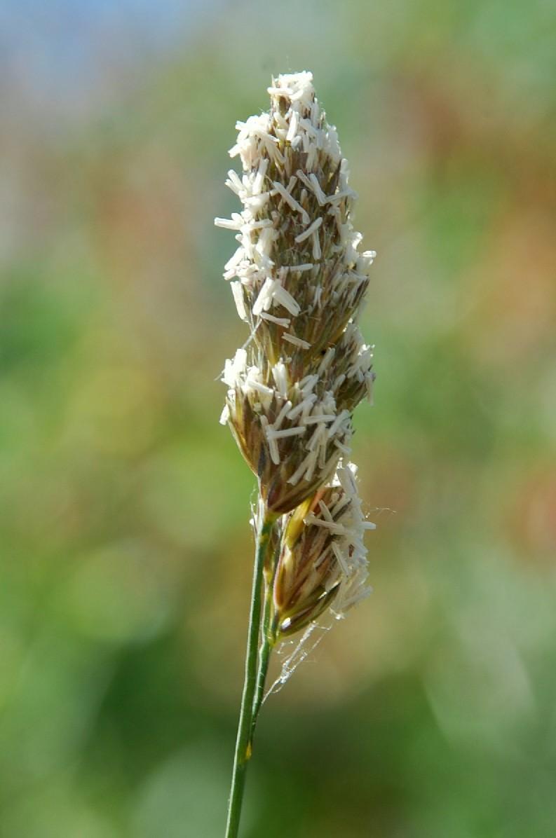 Dactylis glomerata subsp. hispanica 4