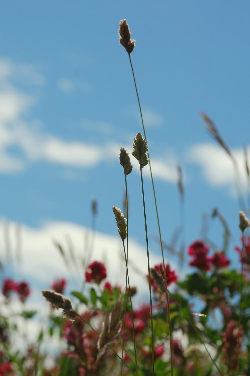 Dactylis glomerata subsp. hispanica 8