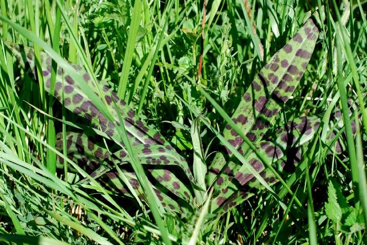 Dactylorhiza maculata 15