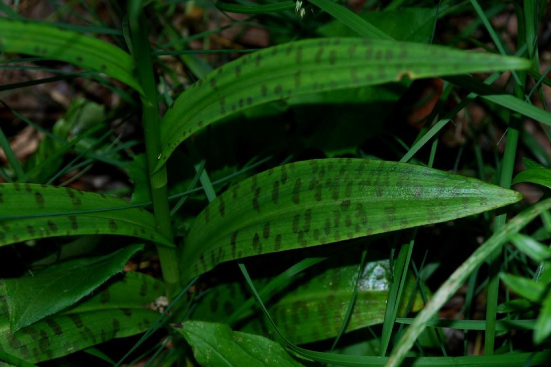 Dactylorhiza maculata 7