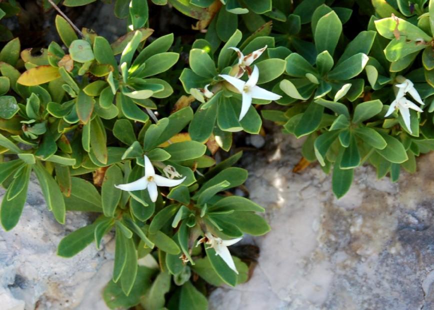 Daphne oleoides