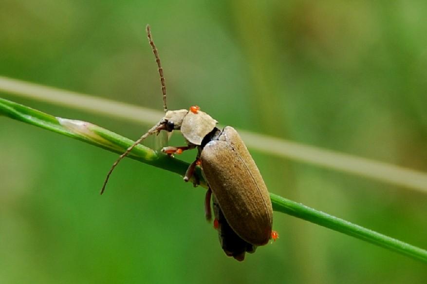 Dascillus sp. - Dascillidae