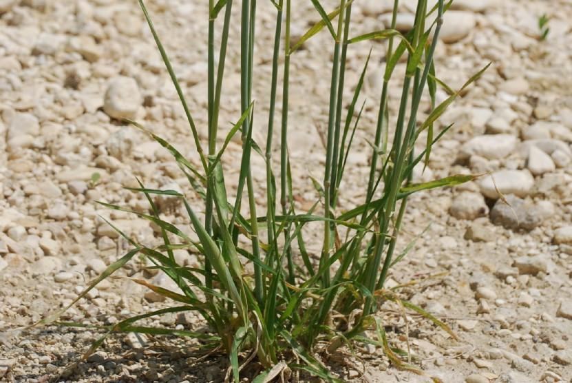 Dasypyrum villosum 7