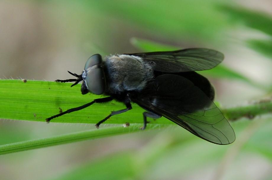 Dasyrhamphis ater - Tabanidae