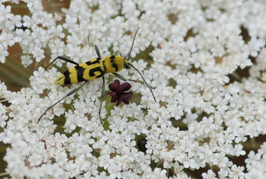 Daucus carota subsp. carota 11