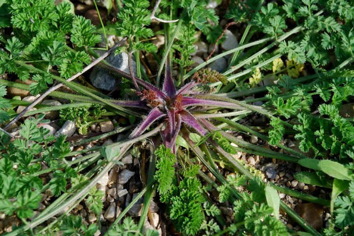Daucus carota subsp. carota 14