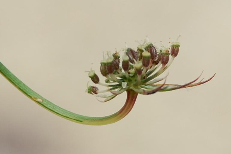 Daucus carota subsp. carota 19