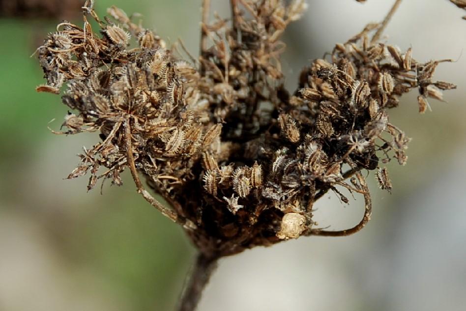 Daucus carota subsp. carota 3