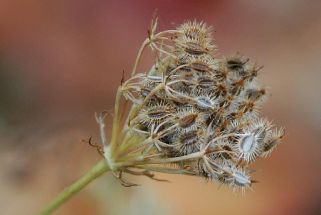 Daucus carota subsp. carota 5
