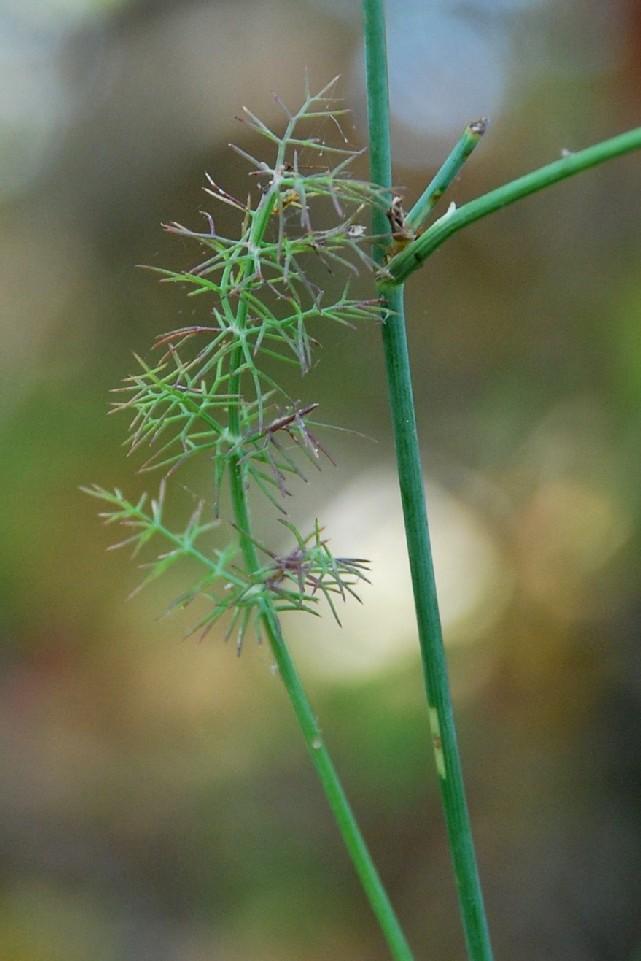Daucus carota subsp. carota 6