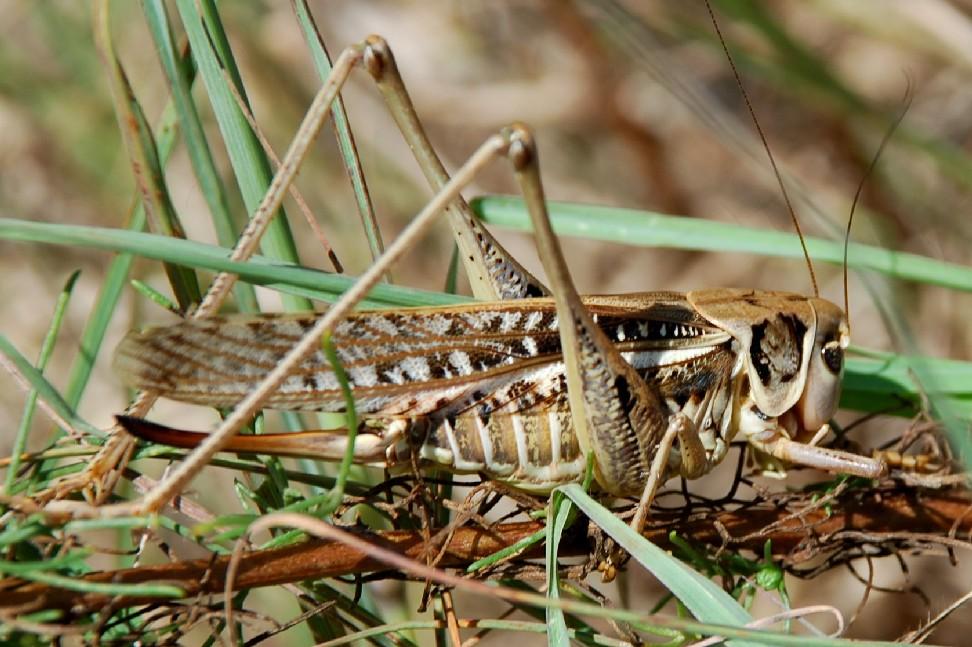 Decticus albifrons - Tettigoniidae