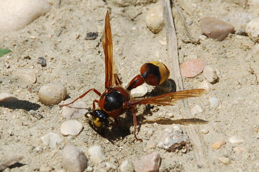 Delta unguiculatum - Vespidae-Eumenidae