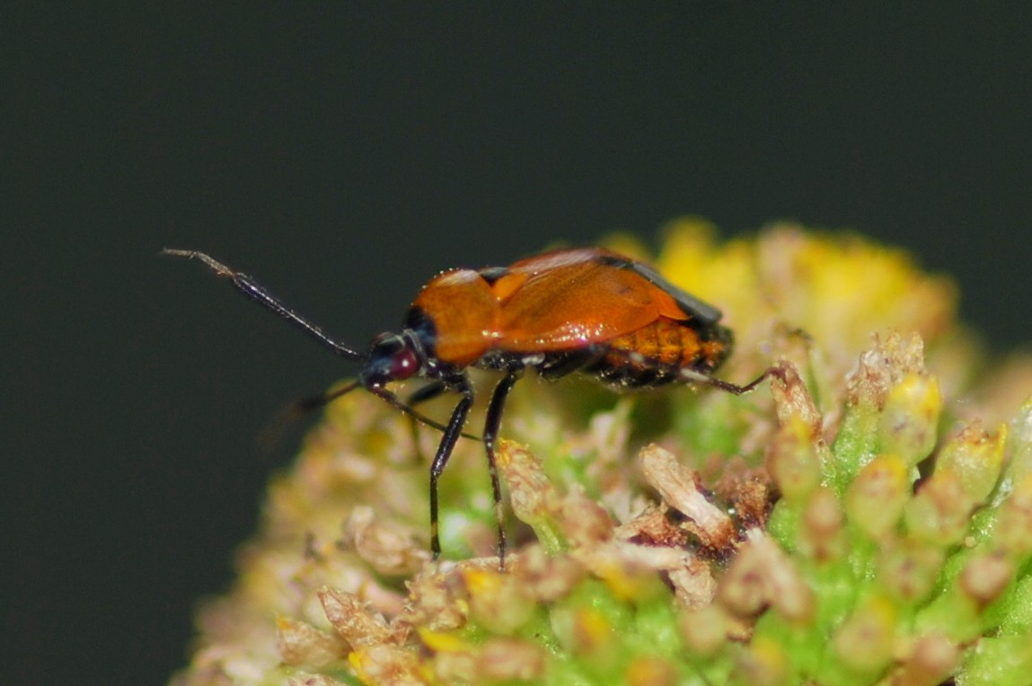 Deraeocoris punctum - Miridae