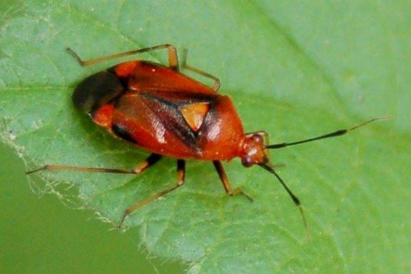 Deraeocoris ruber - Miridae
