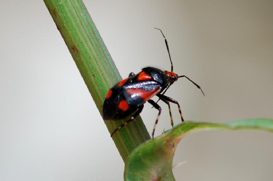 Deraeocoris schach - Miridae