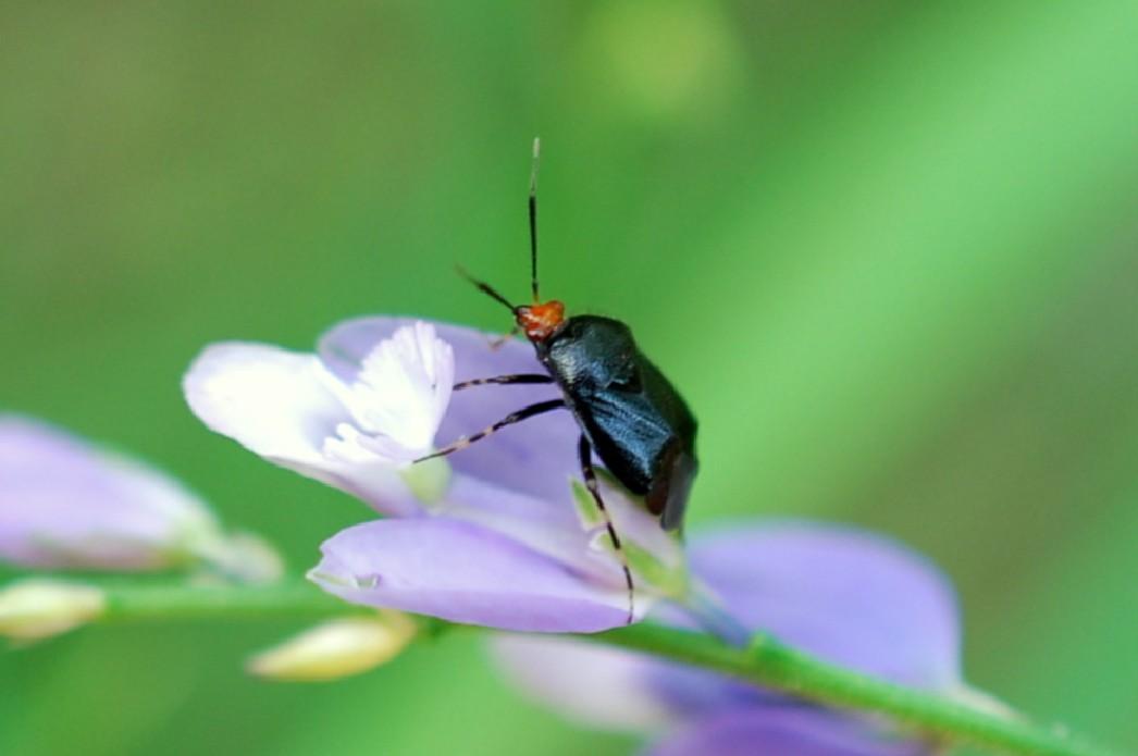 Deraeocoris sp. - Miridae