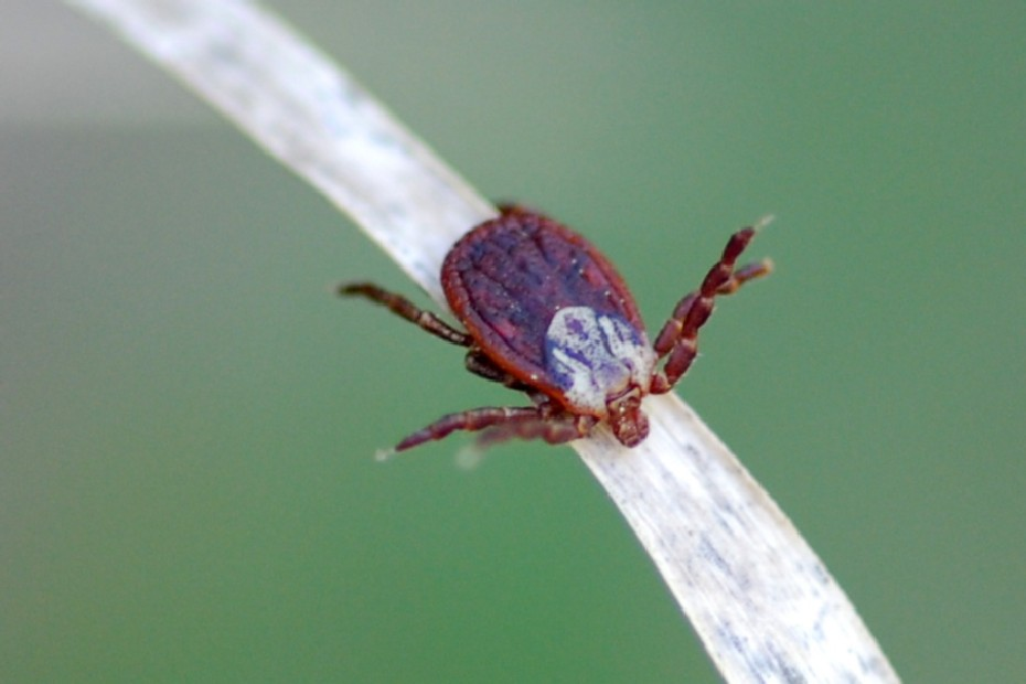 Dermocentor marginatus - Ixodidae