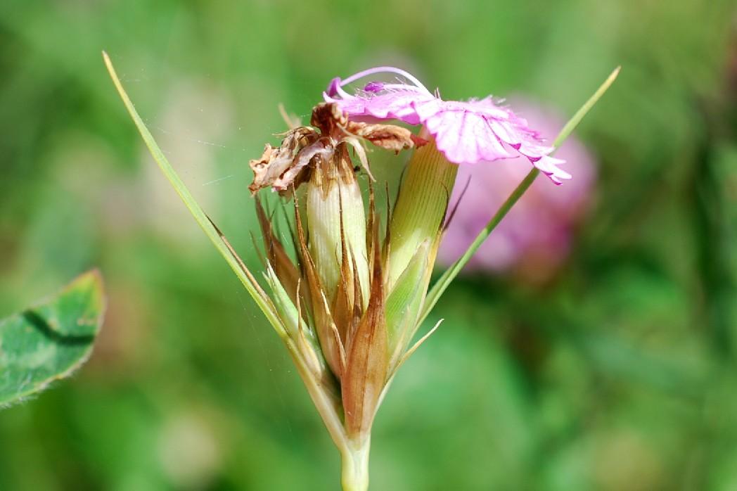 Dianthus armeria subsp. armeria 10