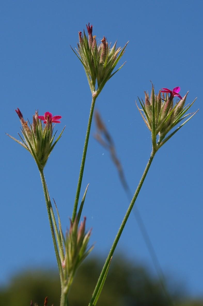 Dianthus armeria subsp. armeria 8