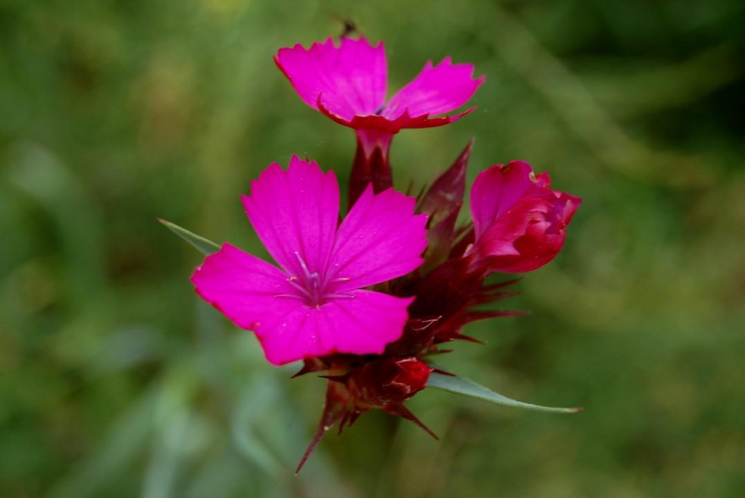 Dianthus carthusianorum
