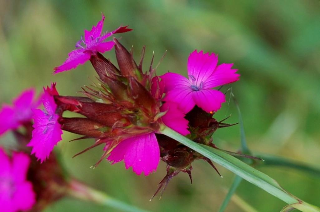 Dianthus carthusianorum 10