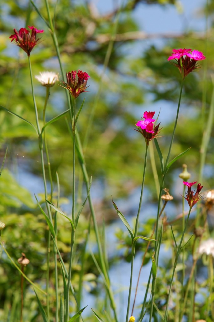 Dianthus carthusianorum 3