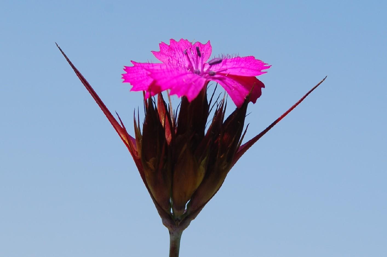 Dianthus carthusianorum 4