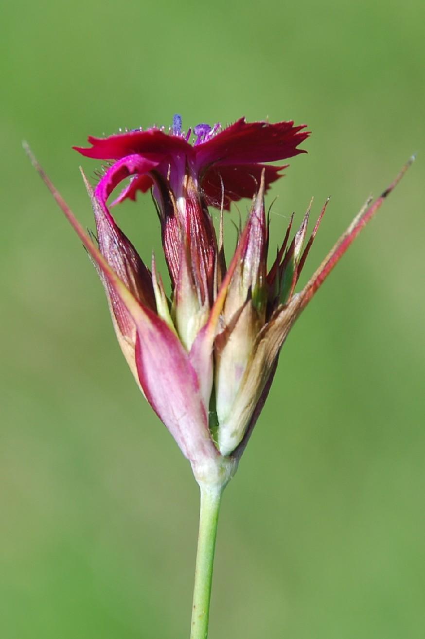 Dianthus carthusianorum 5