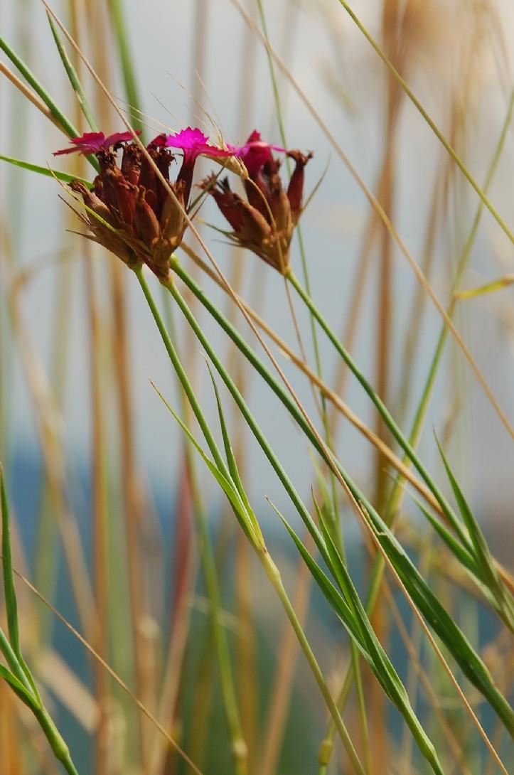 Dianthus carthusianorum 6