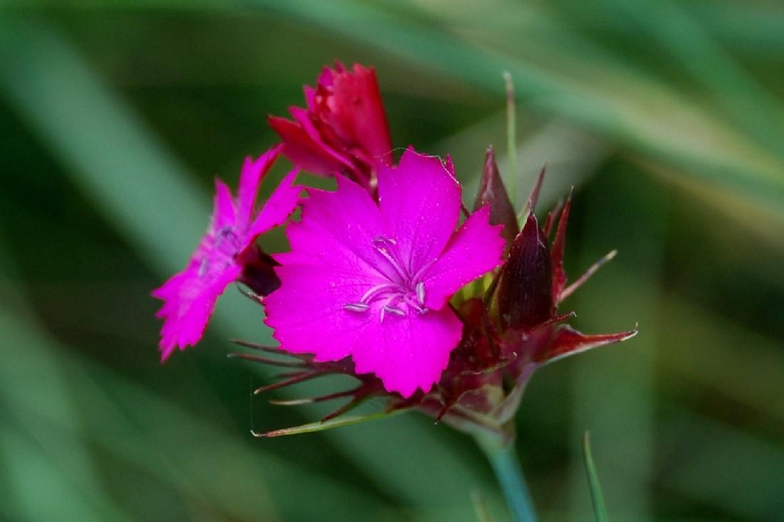 Dianthus carthusianorum 8