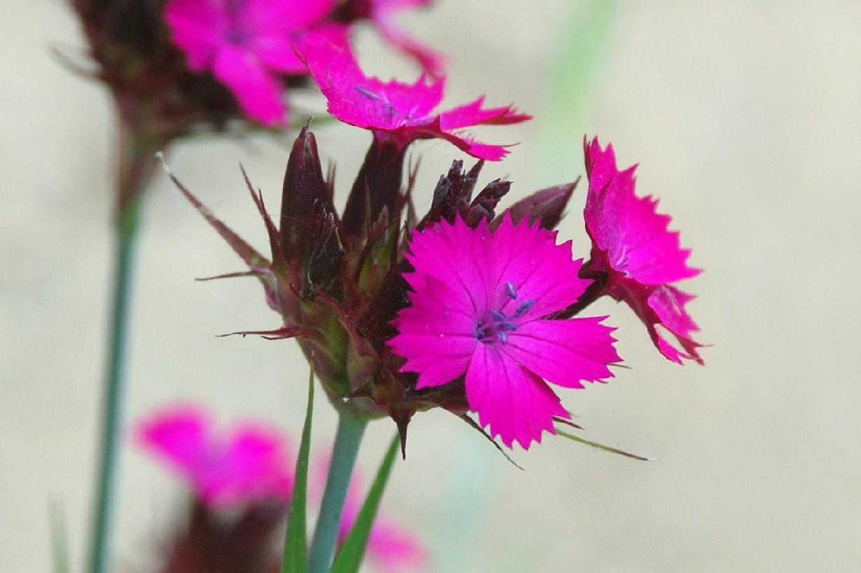 Dianthus carthusianorum 9