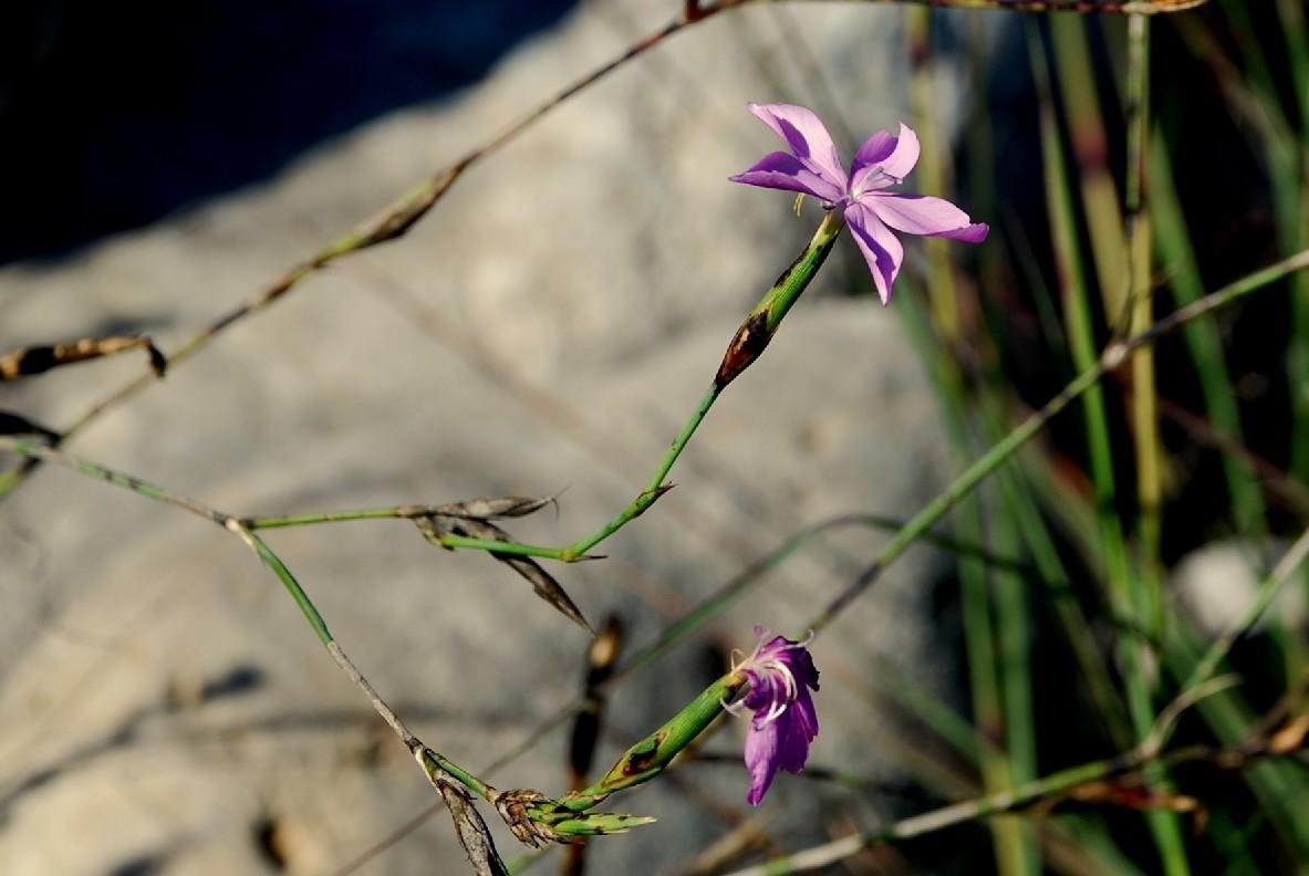 Dianthus ciliatus subsp. ciliatus