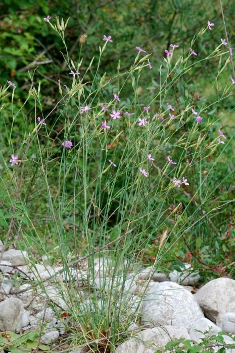 Dianthus ciliatus subsp. ciliatus 18