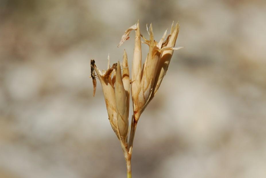 Dianthus ciliatus subsp. ciliatus 20