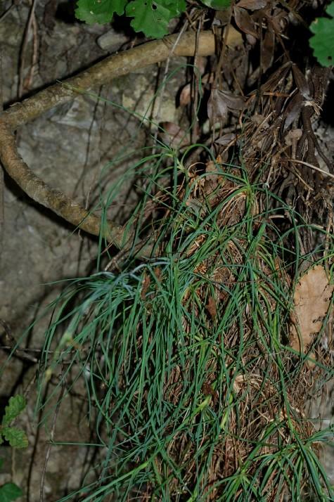 Dianthus ciliatus subsp. ciliatus 22