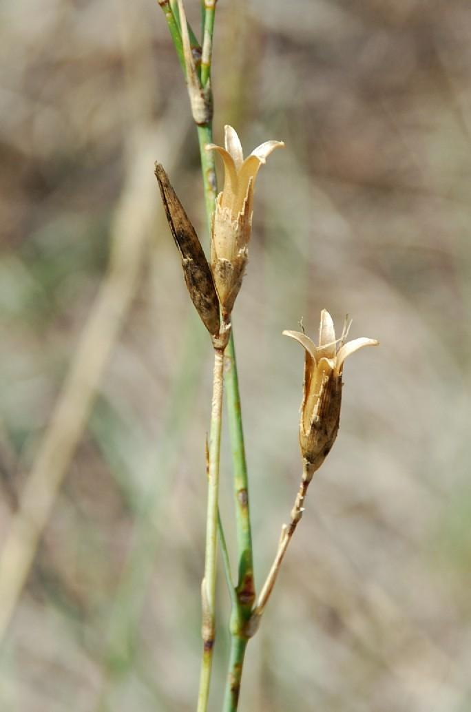 Dianthus ciliatus subsp. ciliatus 26