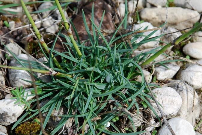 Dianthus ciliatus subsp. ciliatus 5