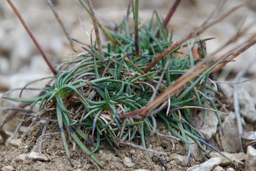 Dianthus ciliatus subsp. ciliatus 9