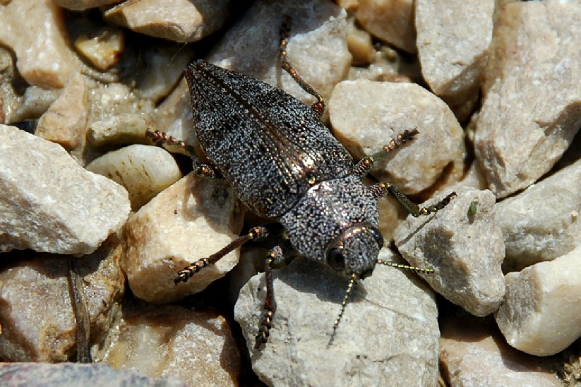 Dicerca sp. - Buprestidae