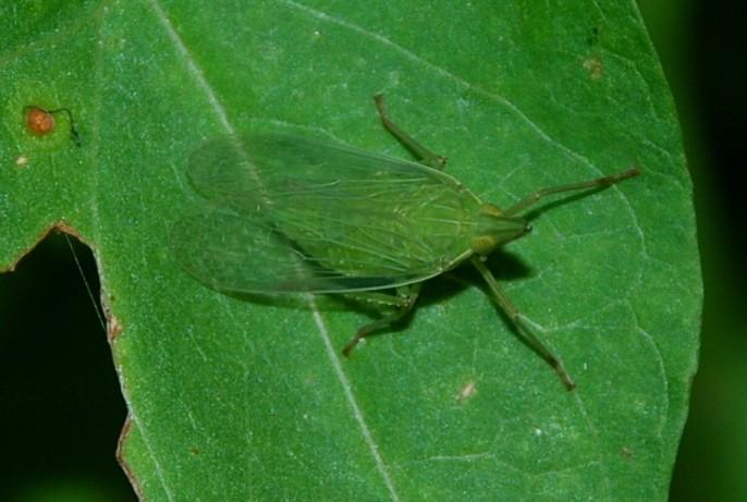 Dictyophara europaea - Dictyopharidae