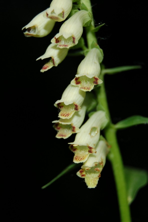 Digitalis micrantha 2