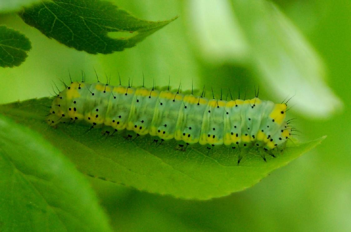 Diloba caeruleocephala - Noctuidae