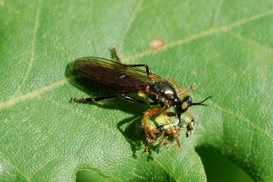 Dioctria hyalipennis - Asilidae